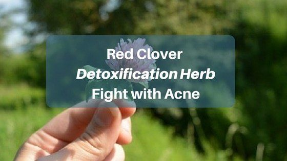 red clover fights acne